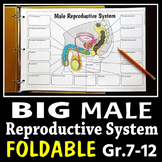 Male Reproductive System - Big Foldable for Interactive Notebooks or Binders