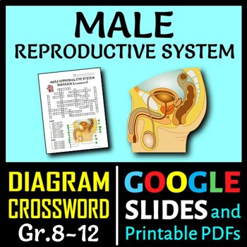 Male Reproductive System Diagram Answer Modern Design Of Wiring