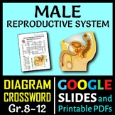 Male Reproductive System Crossword with Diagram {Editable}