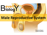 Male Reproductive System PowerPoint (& free student handout)