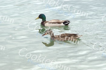 Male and female ducks in water