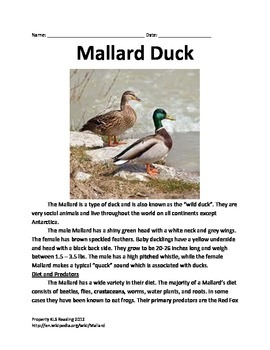 Mallard Duck informationa Article Questions Facts VocabularyInformationall