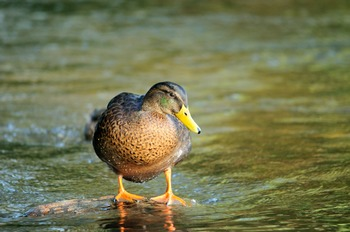 Mallard Duck on a Rock in the Middle of a River