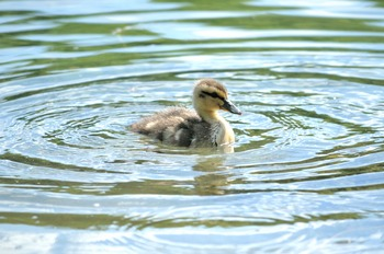 Mallard Duckling Swimming Alone