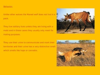 Maned Wolf - Endangered - Power Point Information Pictures Facts