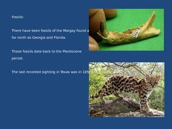 Margay - Power Point - Information Facts Pictures