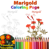 Marigold: Coloring Page and Botanical Description Card