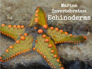 Marine Invertebrates - Echinoderms