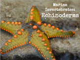 Marine Invertebrates - Echinoderms