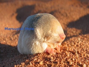 Marsupial Mole - Power Point - Information Facts Pictures
