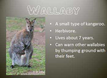 Marsupial Power Point (kanagroo, koalas, wallaby, opossum, and tasmanian devil)