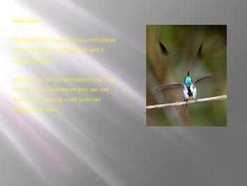 Marvelous Spatulatial Hummingbird