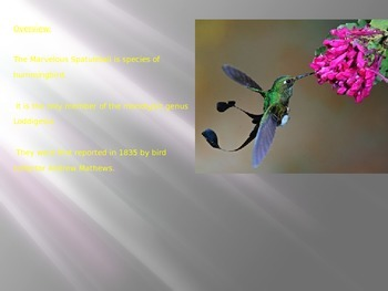Marvelous Spatutail Hummingbird - Powerpoint information pictures facts