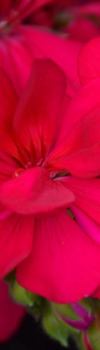 Photo Products - Mary's Garden Geraniums Theme