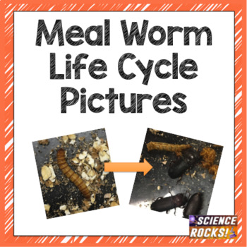 Meal Worm Life Cycle Photographs