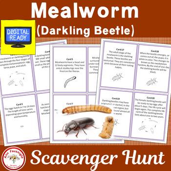 Mealworm (Darkling Beetle) Life Cycle Scavenger Hunt
