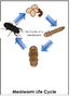 Mealworm Life Cycle Flip Book