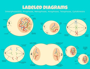 Mega Mitosis Clipart Diagram Bundle!