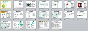 Meiosis & Crossing Over PowerPoint Presentation (+ free student handout)