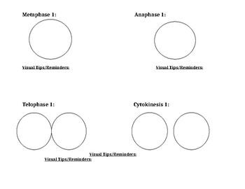 Meiosis Drawing Graphic Organizer