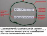 Meiosis Paper Kinesthetic Model