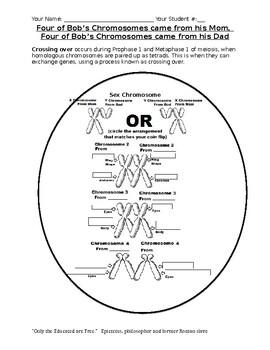 Meiosis: Understanding Independent Assortment and Crossing Over