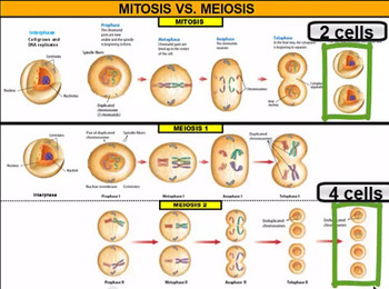 Meiosis Vodcast (Video Podcast)