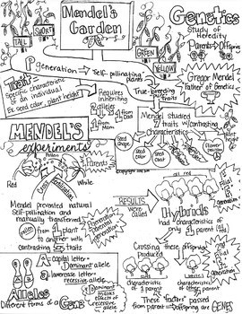 Mendel-Genetics Introduction Sketch Notes W/Teacher's Guide & Student Notes!!