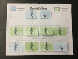 Mendel's Peas - An Introduction to Punnet Squares
