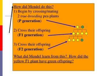 Mendelian Genetics Dynamic Graphic Organizer