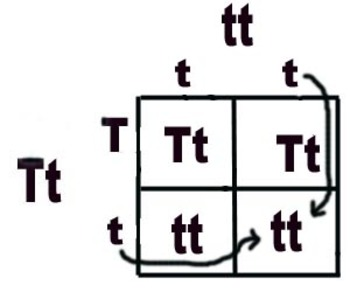 Mendelian Genetics Unit: Lesson 6: Intro to Punnet Squares