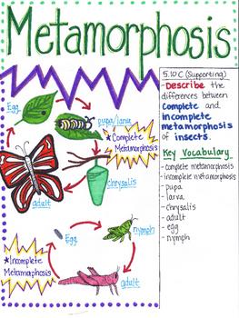 5th Grade Metamorphosis