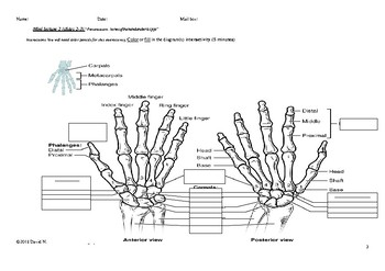 Minilecture and Lab Exercise: Bones of the Hand and Wrist