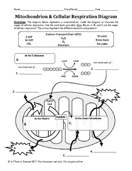 Mitochondrion & Cellular Respiration Diagram Worksheet by A-Thom ...