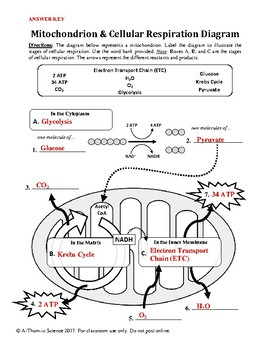 Mitochondrion & Cellular Respiration Diagram Worksheet