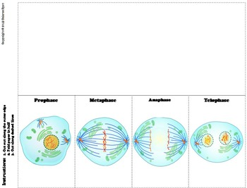 Cell Division Foldable: Mitosis Interactive Notebook Foldable Activity