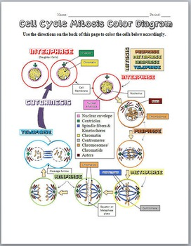 mitosis cell cycle color diagram by biology zoology forensic science mitosis phases mitosis cell cycle color diagram