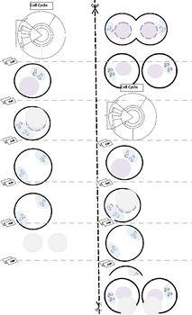 Mitosis Circles labeling student copy only
