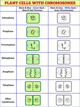 Mitosis Clip Art - Animal and Plant Cells {Commercial and ...
