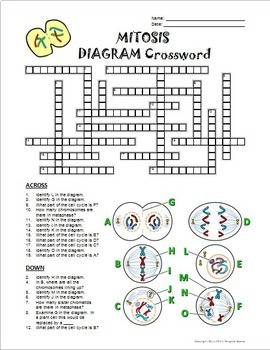 mitosis crossword with diagram {editable} by tangstar science tpt diagram of mitosis with labels mitosis crossword with diagram {editable}