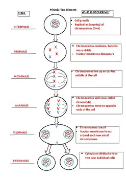 Mitosis Flow Diagram