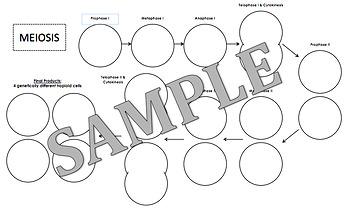 Mitosis & Meiosis Diagram Notes