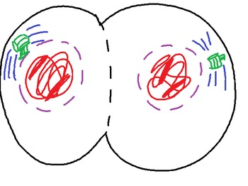 Mitosis Notes with Website