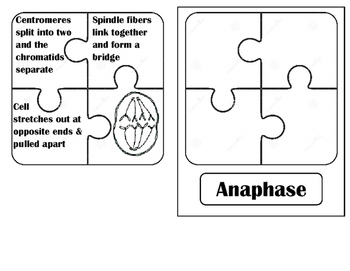 Mitosis Puzzle Pieces Practice by Organizing Bio | TpT