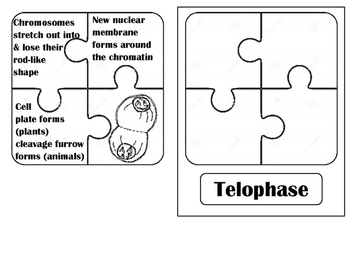 Mitosis Puzzle Pieces Practice by Organizing Bio   TpT
