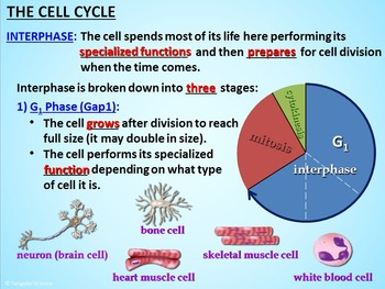 Ppt the cell cycle powerpoint presentation id:3213690.