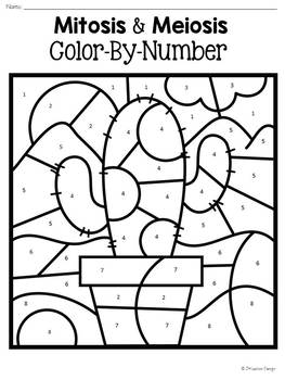 mitosis coloring pages - mitosis and meiosis color by number by jh lesson design tpt