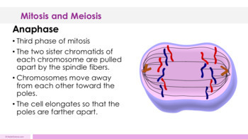 Mitosis and Meiosis Complete 5E Lesson Plan