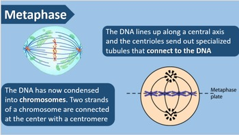 Mitosis and Meiosis PowerPoint Presentation