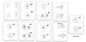 Mitosis vs Meiosis Card Activity